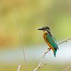 Common kingfisher שלדג גמדי