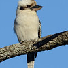 Laughing Kookaburra (Dacelo novaeguineae), Tallebudgera Creek, Burleigh Heads, Queensland.