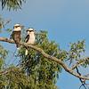 Pair of Laughing Kookaburras (Dacelo novaeguineae)