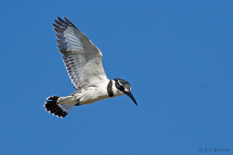 pied kingfisher female פרפור עקוד נקבה