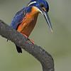 Azure Kingfisher (Alcedo azurea),
