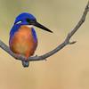 Azure Kingfisher (Alcedo azurea)