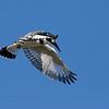 pied kingfisher female פרפור עקוד נקבה