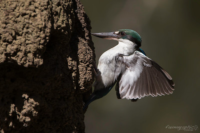 Torresian Kingfisher