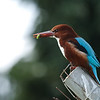 white throated kingfisher לבן חזה