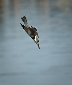 Female Belted Kingfisher: 2 of 7