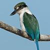 Collared Kingfisher (Todiramphus chloris)