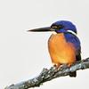 Azure Kingfisher (Alcedo azurea), Tallebudgera Creek, Burleigh H