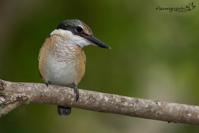 Juvenile Sacred Kingfisher