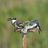 Family argument<br /> pied kingfisher male (on left) and female<br /> ויכוח משפחתי<br /> פרפור עקוד - זכר (משמאל) ונקבה