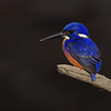 Azure Kingfisher (Alcedo azurea), Tallebudgera Creek, Burleigh Heads, Queensland.