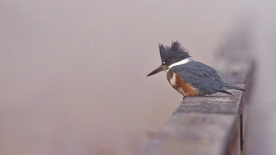 Belted Kingfisher in the fog.