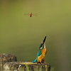 Common kingfisher שלדג גמדי white throuted kingfisher לבן חזה pied kingfisher פרפור עקוד