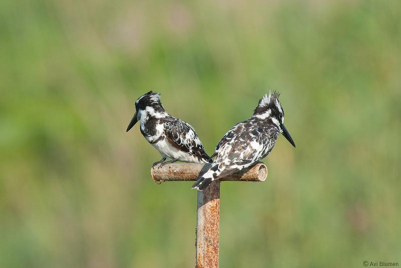 Family argument<br /> pied kingfisher male (on left) and female<br /> ויכוח משפחתי<br /> פרפור עקוד - זכר (משמאל) ונקבה