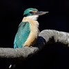 Sacred Kingfisher (Todiramphus sanctus), Tallebudgera Creek, Burleigh Heads, Queensland.