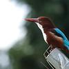 white throated kingfisher לבן חזה