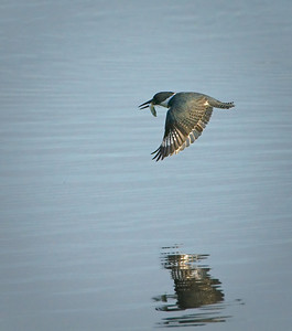 Female Belted Kingfisher: 7 of 7