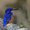 Azure Kingfisher (Alcedo azurea), Tallebudgera Creek, Burleigh Heads, Queensland.