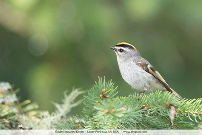 Golden-crowned Kinglet - Upper Peninsula, MI, USA