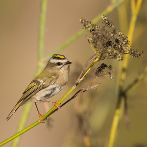 Golden-crowned Kinglet - Coyote Hills Regional Park, Fremont, CA, USA