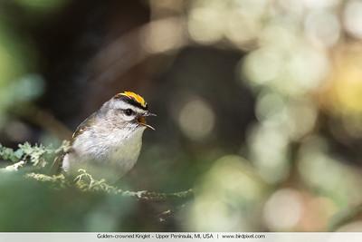 Golden-crowned Kinglet - Upper Peninsula, MI, USA