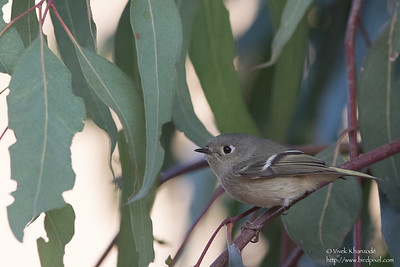 Ruby-crowned Kinglet - Ed Levin County Park, Milpitas, CA, USA
