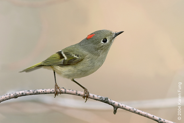 17 April: Male Ruby-crowned Kinglet in Central Park