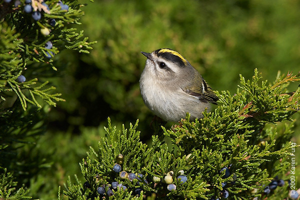 11 October:  Golden-crowned Kinglet at Jones Beach