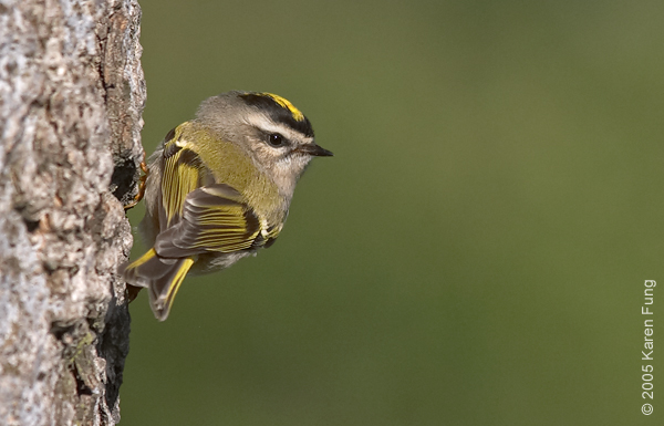 23 October: Golden-crowned Kinglet in Central Park