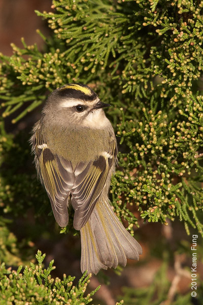 17 October: Golden-crowned Kinglet at Jones Beach