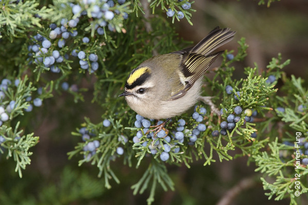 8 October: Golden-crowned Kinglet at Jones Beach