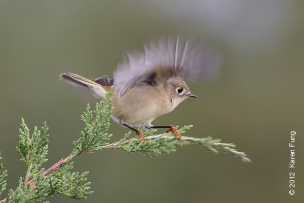 8 October: Ruby-crowned Kinglet landing on a juniper tree at Jones Beach