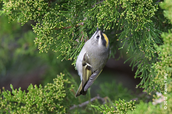7 October: Golden-crowned Kinglet at Jones Beach
