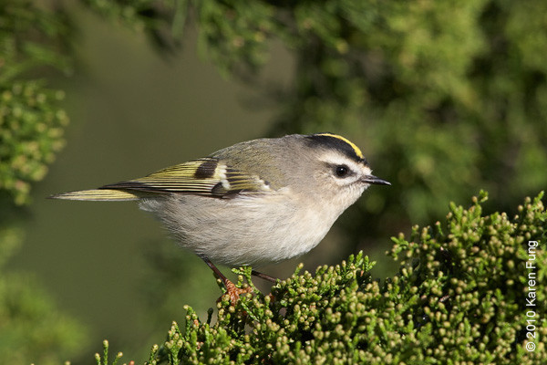 10 October: Golden-crowned Kinglet at Jones Beach