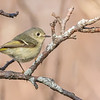 Ruby-crowned Kinglet, Prince Edward Point National Wildlife Area, Ontario