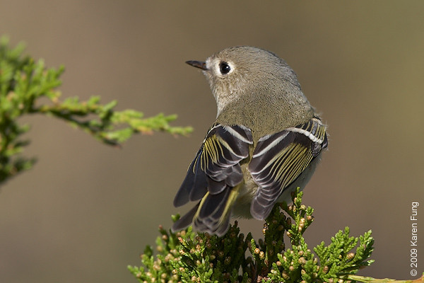 11 October:  Ruby-crowned Kinglet at Jones Beach