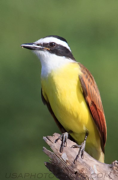 Great Kiskadee (b1251)