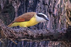 Great Kiskadee (b1254)