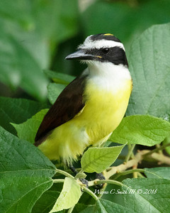 The Great Kiskadee Swawking