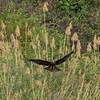 Black Kite - Zambia, Sept 2015