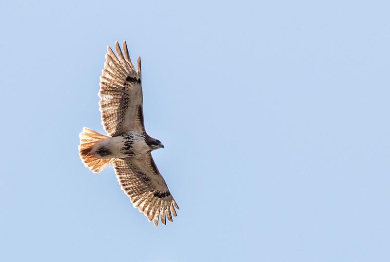 Red-tailed Hawk - Greenbrook, April 2017