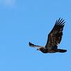 Bald Eagle - Yellowstone NP, Aug 2011