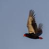 Bateleur Eagle - South Africa, Sept 2015