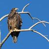 Bald Eagle - Grand Teton NP, Sept 2011