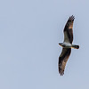 Osprey @ State Line Lookout - Sept 17, 2016