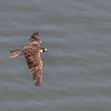 Young Peregrine Falcon - June 2016, NY-NJ State Line Overlook