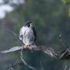 Peregrine Falcon - Palisades Interstate Park, Sept 2016