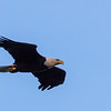 Bald Eagle @ State Line Lookout - Sept 17, 2016