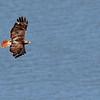 Red-tailed Hawk, May 2013, Greenbrook, NJ