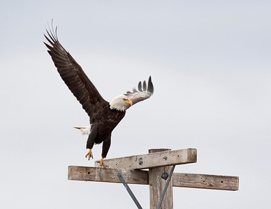 Bald Eagle taking off of perch